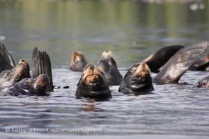 marine mammals: sea lions